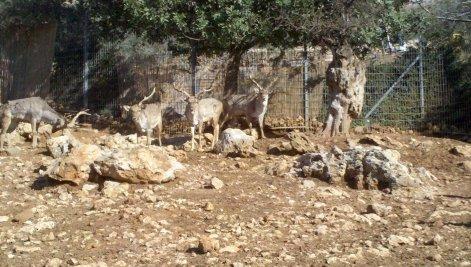 """יחמורים בגן החיות התנ""""כי"""