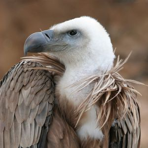 640px-Eagle_beak_sideview_A